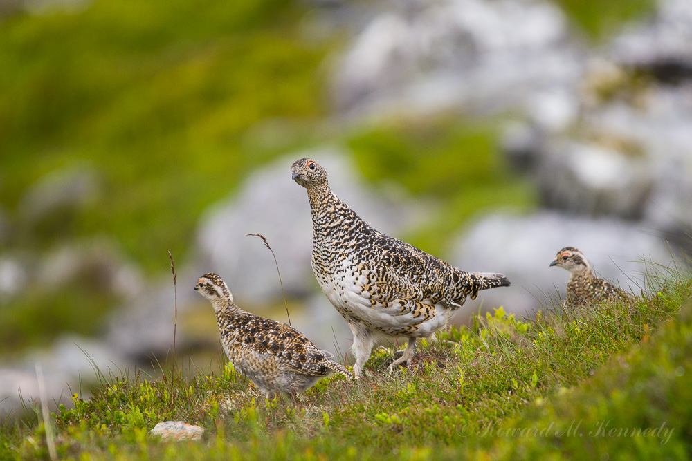 Ptarmigan mother with chicks