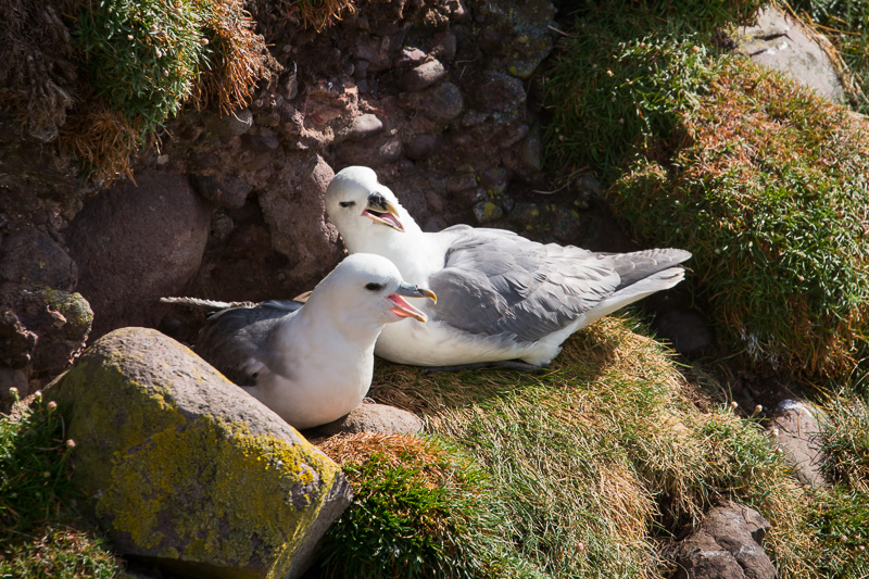 Fulmar Pair Bonding