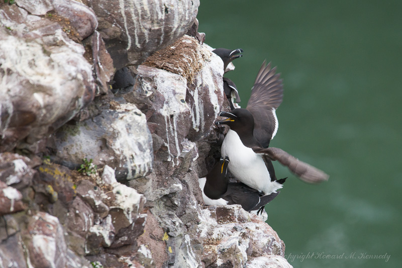 Mating Razorbills