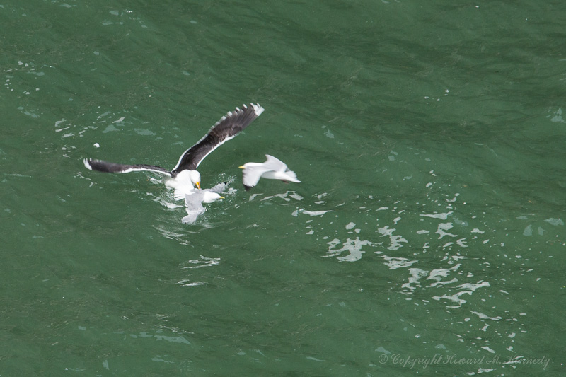 Blackie attacking Kittiwake