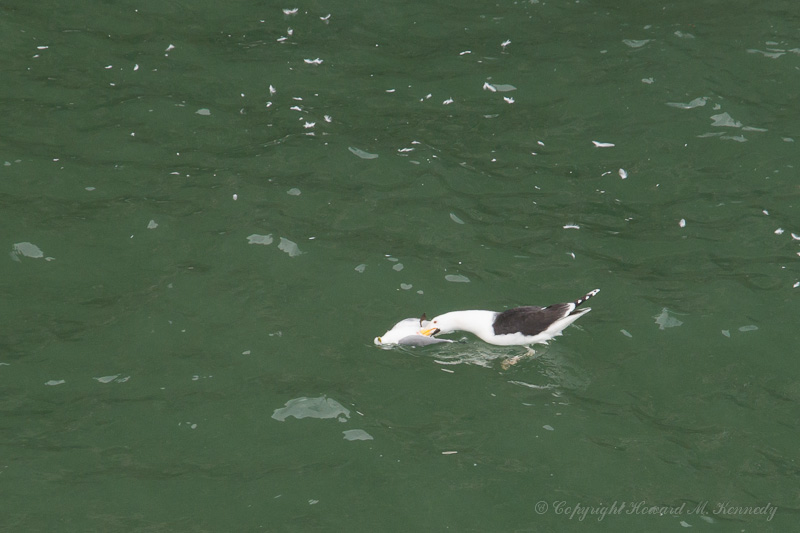 Blackie eating Kittiwake