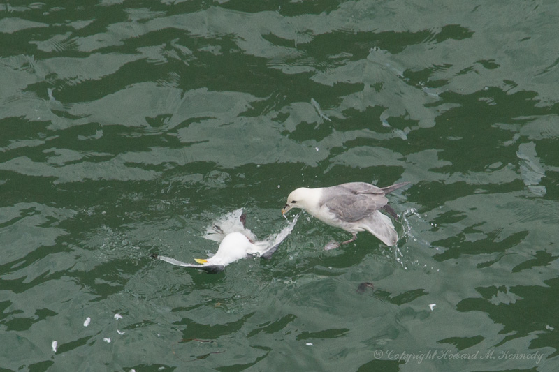 Fulmar eating Kittiwake