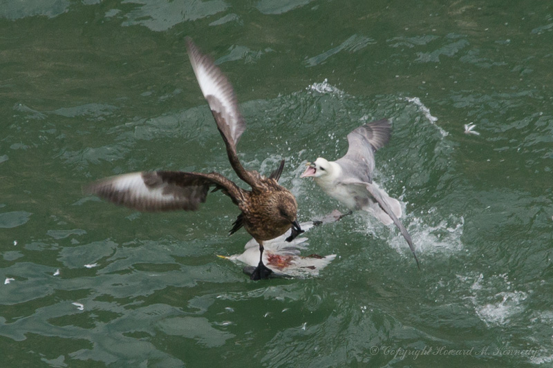 Fulmar attacks Bonksie